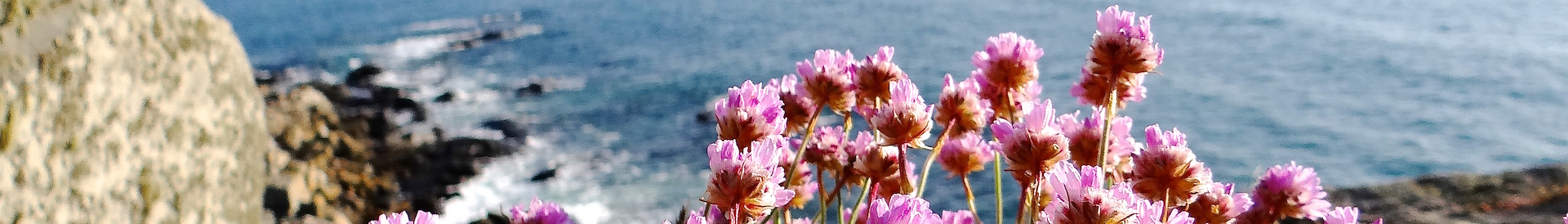Armeria maritima at the forefront of Bihit at Trebeurden